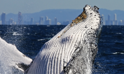 Coolangatta Whale Watch