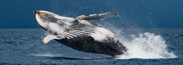 whale behaviour breaching